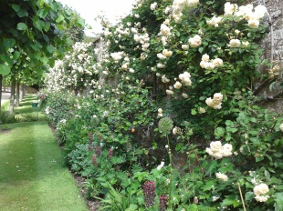Rosa 'Buff Beauty' looking fabulous in the drive border