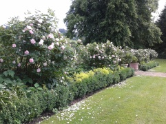 Gorgeously scented old English roses