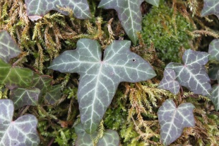Beautiful close up of Hedera helix