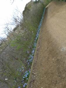 Mass of Chionodoxa luciliae running under mixed hedge