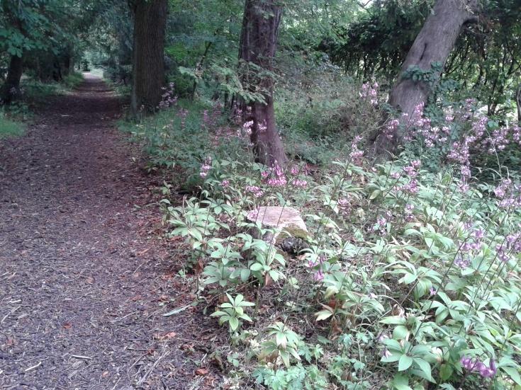Lilium martagon on mass in the Tooth Fairy woodland walk