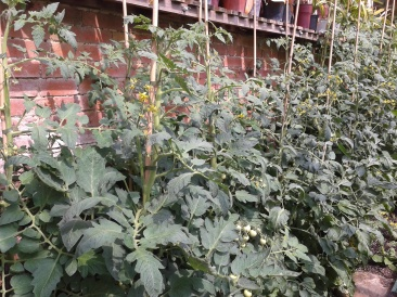 Tomatoes growing in the greenhouse
