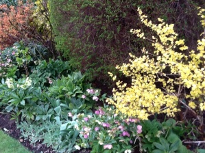 The new vibrant foliage of the gold Physocarpus opulifolius aureus giving the Gold Border a punch.