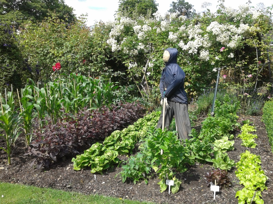 The Scarecrow of 2014 in the Kitchen Garden
