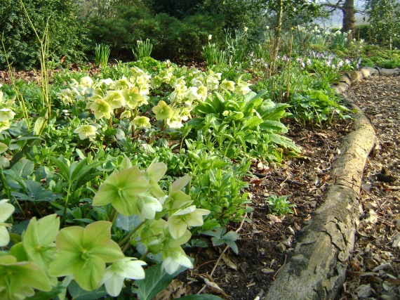 The under-planting in the Rhododendron Dell is bursting into life