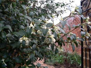 The highly scented late-winter to spring flowering Osmanthus x burkwoodii
